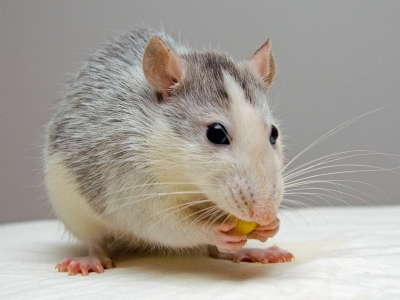 Photo for the news post: Carleton PhD Student on CBC News: What can rats teach us about empathy?