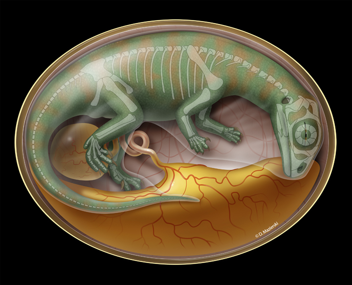 A rendering of Lufengosaurus in the womb with a faint skeletal out